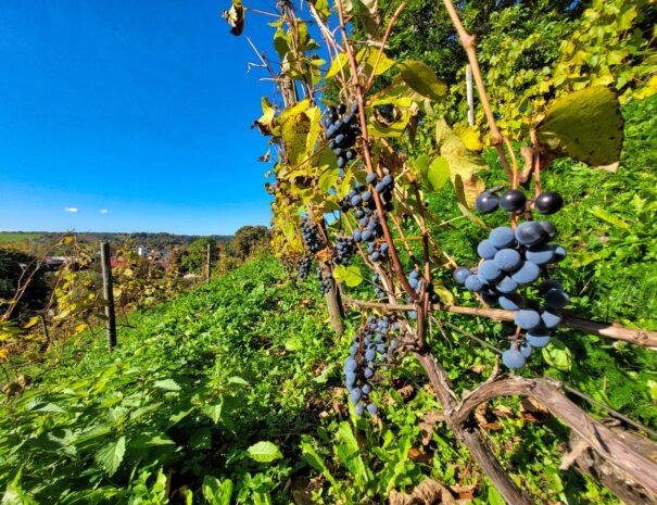 Vīnogas 2 Sabiles Vīna kalns